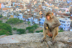 Rhesus macaque sitting on a wall in Jaipur, India Royalty Free Stock Photo