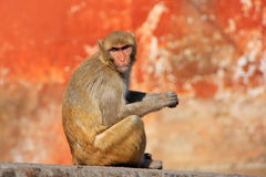 Rhesus macaque sitting on a wall in Jaipur, Rajasthan, India Royalty Free Stock Photography