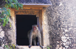 Rhesus macaque sitting in a window of Taragarh Fort, Bundi, Indi Stock Photography