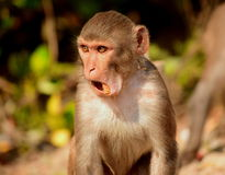Rhesus macaque Royalty Free Stock Photos