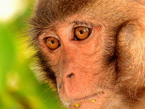 Rhesus macaque. The type of monkey found in Sundarban wildlife sanctuary Royalty Free Stock Photography