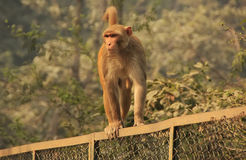 Rhesus Macaque walking on a fence, New Delhi Royalty Free Stock Photo