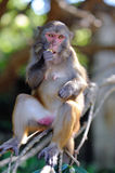 Rhesus macaque2 Stock Photography