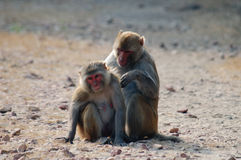 Rhesus macaques Royalty Free Stock Photography