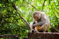 Rhesus Macaques feeding her baby royalty free stock photos