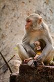 Rhesus Macaques feeding her baby royalty free stock photo