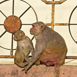 Rhesus macaques Royalty Free Stock Photo