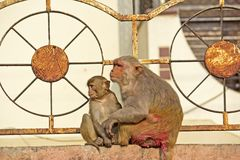 Rhesus macaques Royalty Free Stock Image