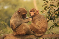 Rhesus Macaques grooming each other, New Delhi Royalty Free Stock Images
