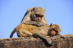 Rhesus macaques grooming each other,Taragarh Fort, Bundi, India Stock Photography