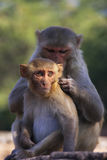 Rhesus macaques grooming each other,Taragarh Fort, Bundi, India Royalty Free Stock Image