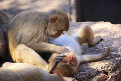 Rhesus macaques grooming each other,Taragarh Fort, Bundi, India Stock Image