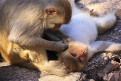 Rhesus macaques grooming each other,Taragarh Fort, Bundi, India Royalty Free Stock Photos