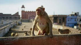 Rhesus macaques has moved into the city and stolen many things from human, Jaipur in India stock image