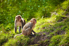 Rhesus macaques in India Stock Photos