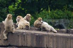 Rhesus Macaques (Macaca mulatta) Stock Image