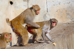 Rhesus macaques (Macaca mulatta) sitting on a wall in Jaipur, In Royalty Free Stock Photo