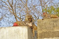 Rhesus macaques Royalty Free Stock Photos