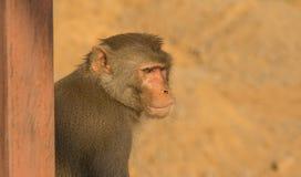 Rhesus macaques monkey Stock Photography