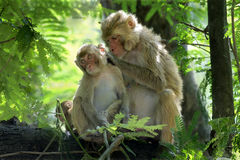 Rhesus macaques-mother picking louse Stock Photos