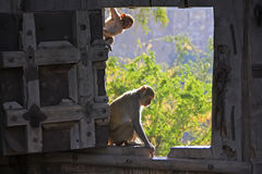 Rhesus macaques playing at the gate of Taragarh Fort, Bundi, Ind Stock Photos