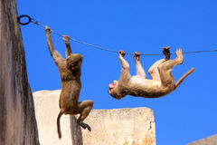 Rhesus macaques playing on a wire near Galta Temple in Jaipur, R Stock Photos