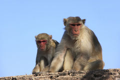 Rhesus macaques sitting at Taragarh Fort, Bundi, India Royalty Free Stock Image