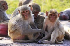 Rhesus macaques sitting at Taragarh Fort, Bundi, India Stock Photo