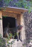 Rhesus macaques sitting in a window of Taragarh Fort, Bundi, Ind Stock Photos
