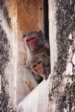 Rhesus macaques sitting in a window of Taragarh Fort, Bundi, Ind Stock Images