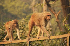 Rhesus Macaques walking on a fence, New Delhi Stock Photo
