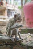 Rhesus makak je Fotografia Stock