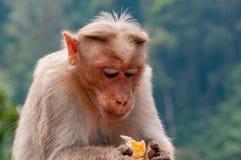 Rhesus makak Kontempluje swój tangerine fundę który trzyma ono obraz royalty free