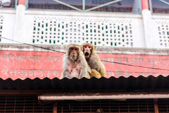Rhesus makak (Macaca mulatta Rishikesh, India) (,) Obraz Stock