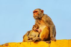 Rhesus makak z dziecka obsiadaniem na ścianie w Taj Ganj neighbo Zdjęcia Royalty Free