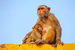 Rhesus makak z dziecka obsiadaniem na ścianie w Taj Ganj neighbo Obrazy Stock