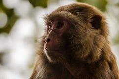 Rhesus makak - zakończenie up Fotografia Stock