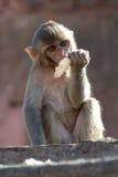 Rhesus makaka łasowanie Zdjęcia Royalty Free
