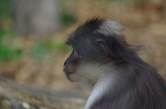Rhesus makaka gapić się Obraz Royalty Free