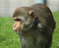 Rhesus makaka gapić się Obraz Stock