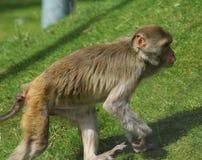 Rhesus makaka gapić się Fotografia Royalty Free