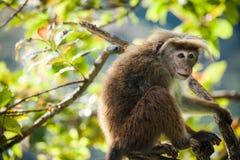 Rhesus makaka małpa (Macaca mulatta) Fotografia Royalty Free