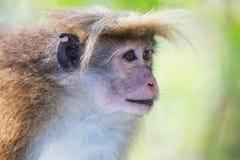 Rhesus makaka małpa (Macaca mulatta) Obraz Royalty Free