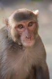 Rhesus makaka obsiadanie przy Tughlaqabad fortem, Delhi, India Fotografia Royalty Free