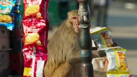 Rhesus makaki ruszali się w miasto i kraść wiele rzeczy od istoty ludzkiej, Jaipur w India obraz stock