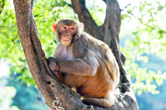 Rhesus makaque monkey Royalty Free Stock Photo