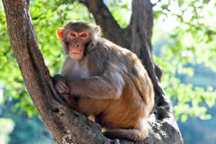Rhesus makaque monkey Stock Photography