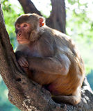 Rhesus makaque monkey Stock Photos