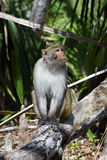 Rhesus Monkey Stock Photography
