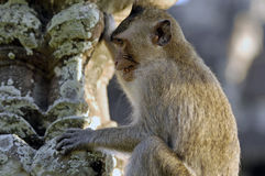 Rhesus monkey at Angkor Wat Royalty Free Stock Images